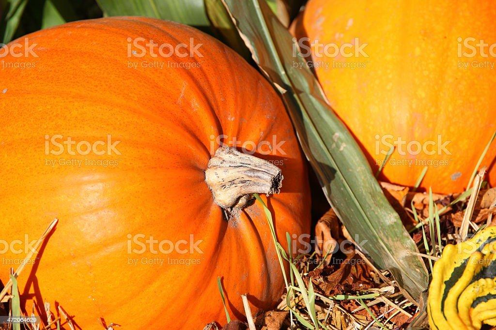 Autumn - orange pumpkins for halloween royalty-free stock photo