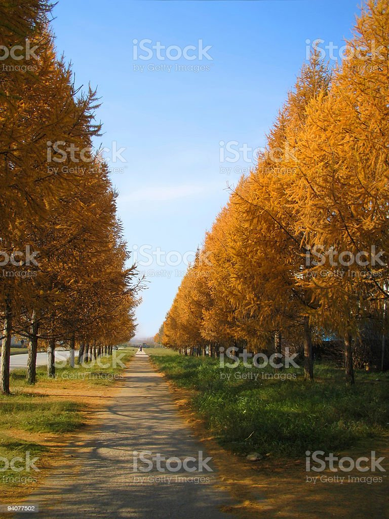 autumn path from yellow tree royalty-free stock photo