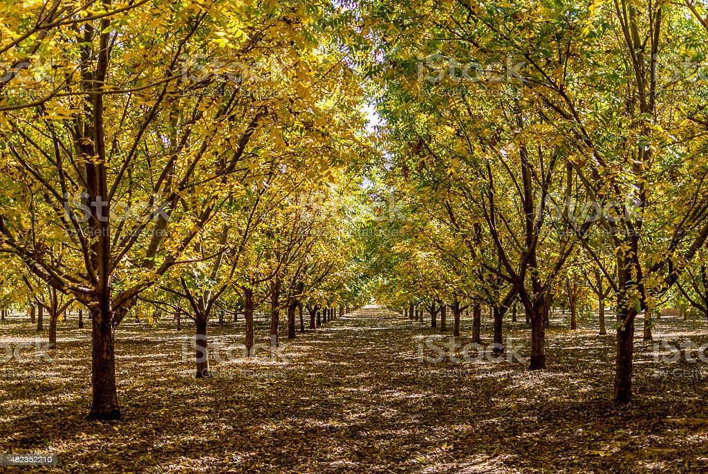 Autumn Pecan Trees stock photo