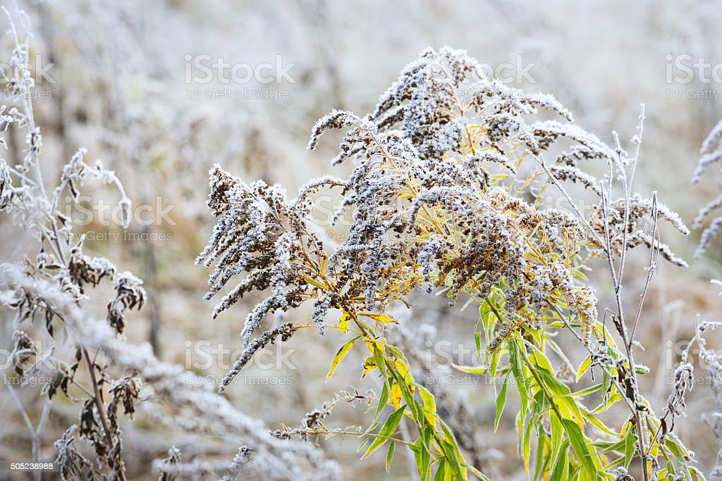 Autumn plants with the hoar-frost stock photo