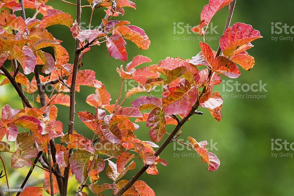 Autumn Poison Oak stock photo