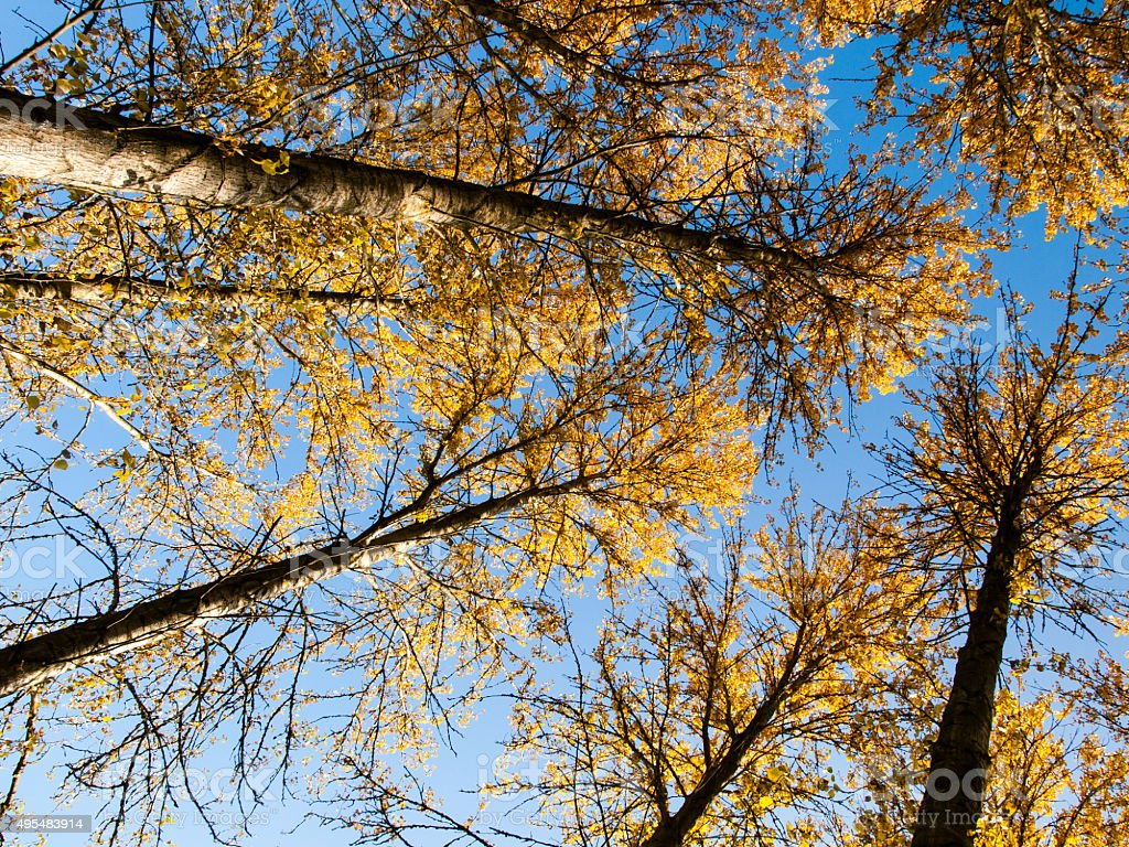 Autumn Poplars stock photo