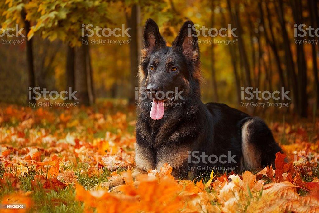 Autumn portrait of a German Shepherd stock photo