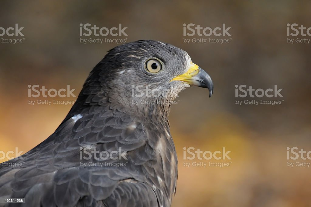 Autumn portrait of Honey Buzzard stock photo