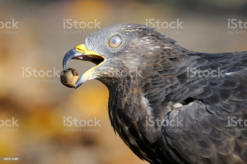 Autumn portrait of Honey Buzzard with acorn stock photo