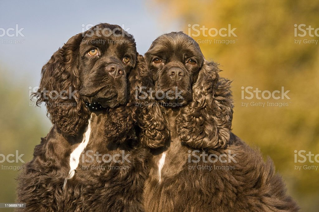 Autumn portrait of two american cocker spaniels royalty-free stock photo