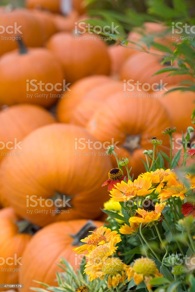 Autumn Pumpkins and Flowers in Garden royalty-free stock photo