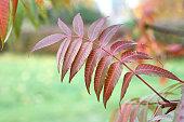 Autumn - purple leaves on sumac tree