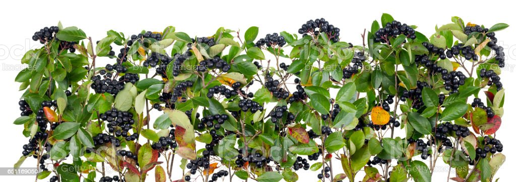 Autumn real black mountain Ash  branches and berries isolated line stock photo
