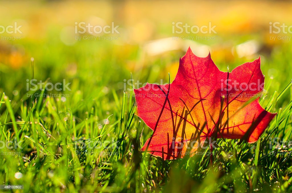 autumn red  leaf on a green lawn, natural background stock photo