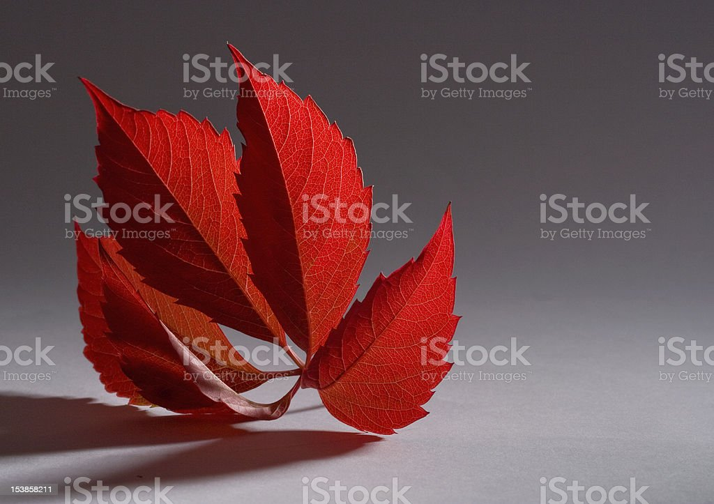 autumn red leaf royalty-free stock photo