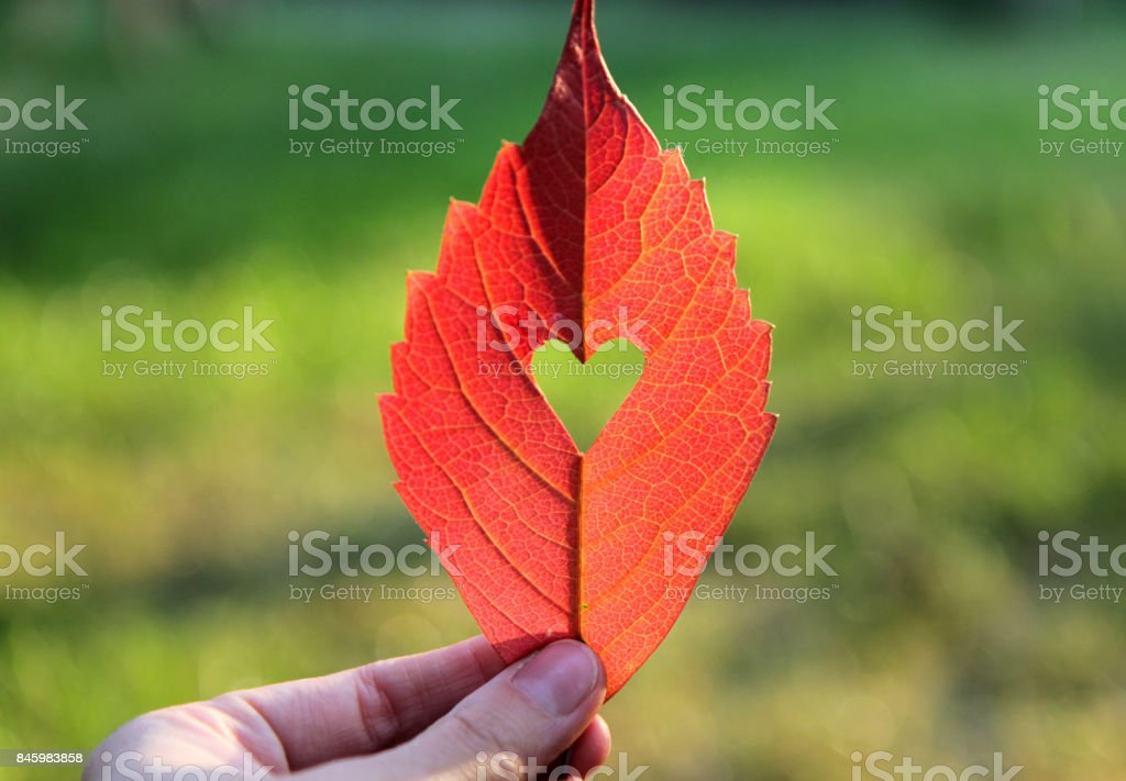 Autumn red leaf with cut heart in a hand stock photo