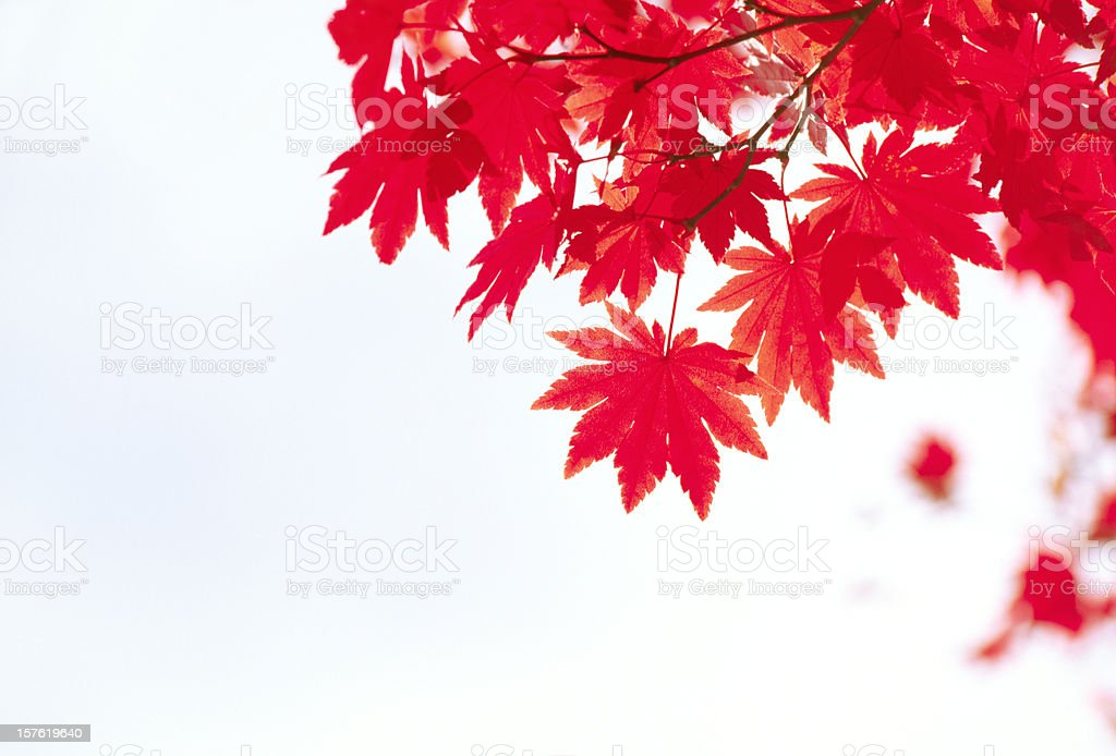 Autumn Red Leaves royalty-free stock photo