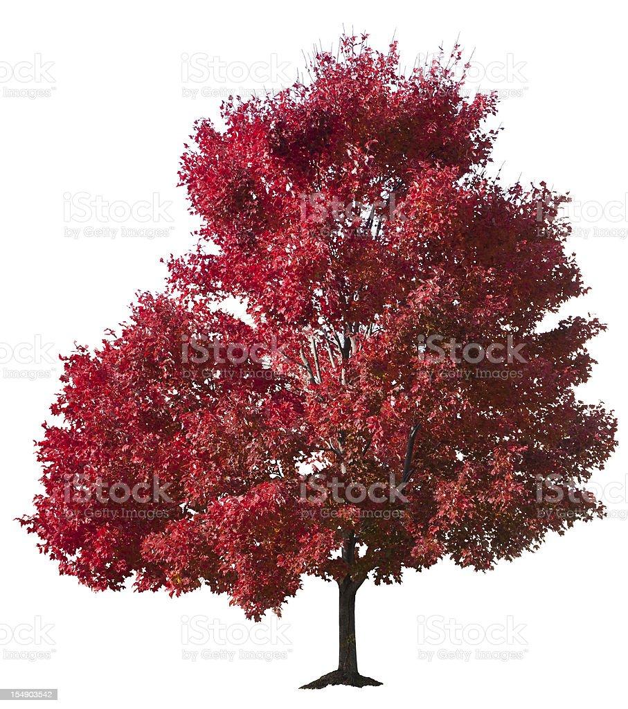 Autumn Red Maple Tree Isolated stock photo