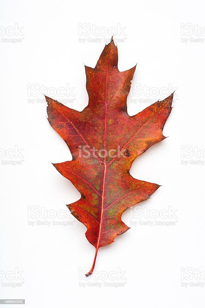autumn red oak leaf stock photo