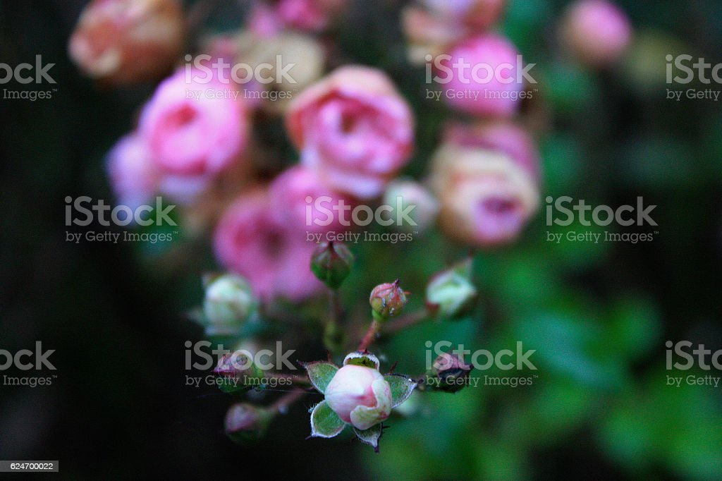 Autumn Roses stock photo