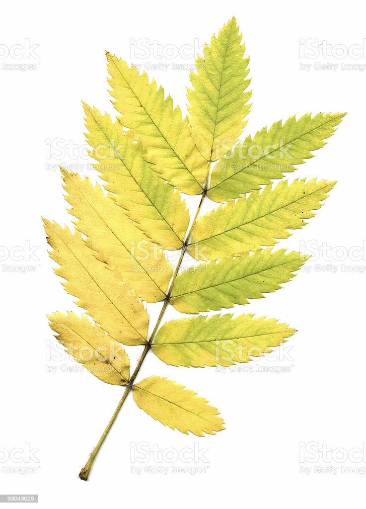 Autumn rowan leaf stock photo