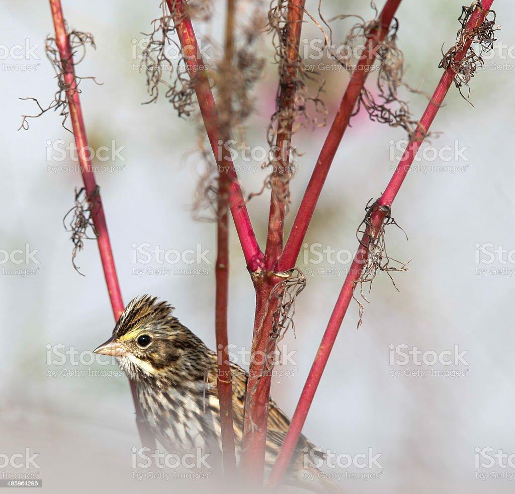 Autumn Savannah Sparrow Close-up Cape May New Jersey stock photo
