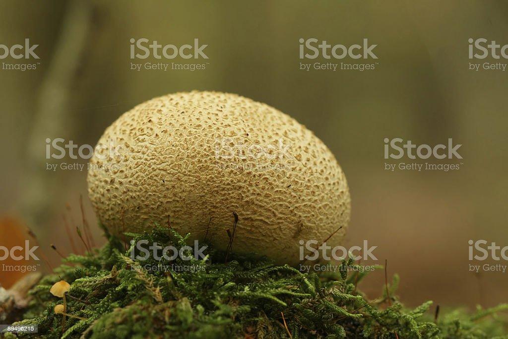 Autumn scene: Puffball Mushroom stock photo