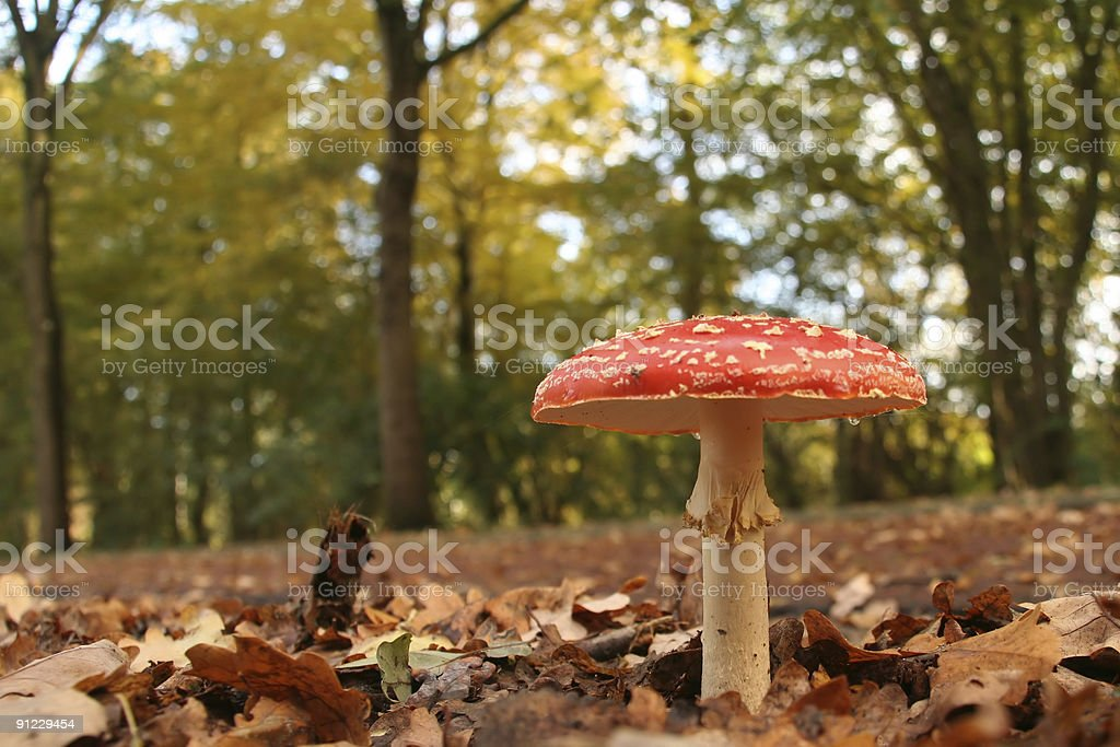 Autumn scene: Toadstool in the park royalty-free stock photo
