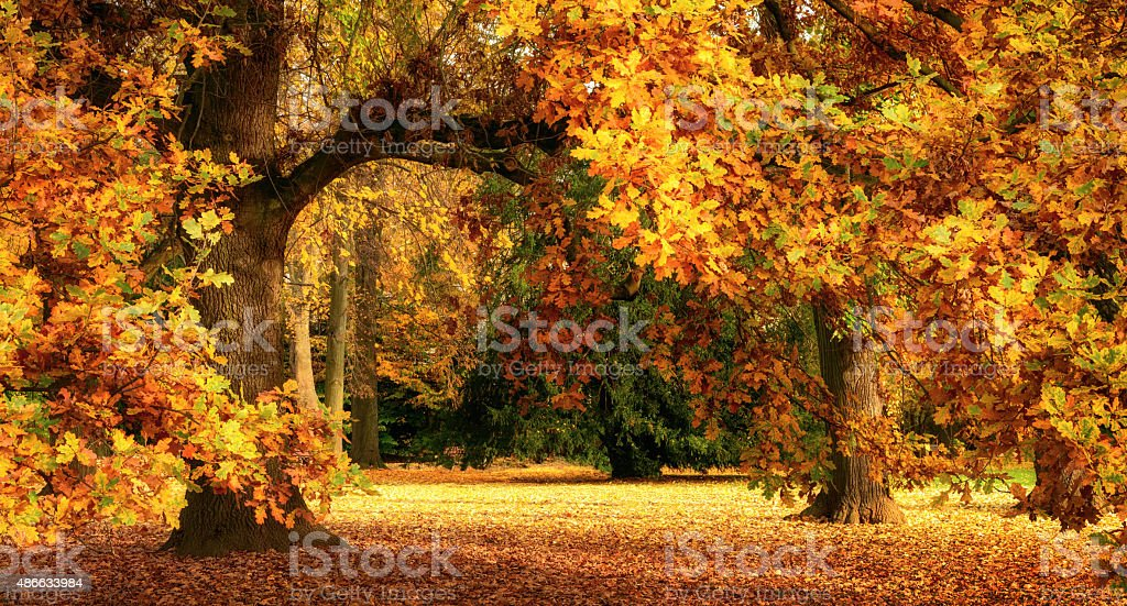 Autumn scenery with a magnificent oak tree stock photo