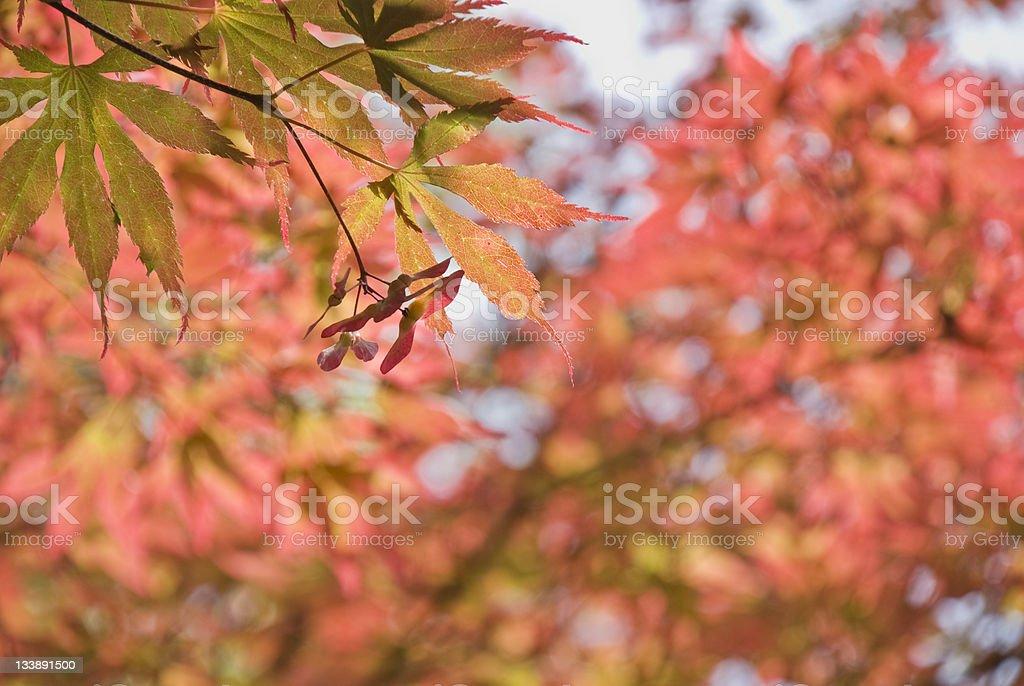 Autumn Season – Japanese Maple stock photo