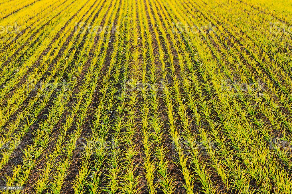 autumn seeding wheat field stock photo