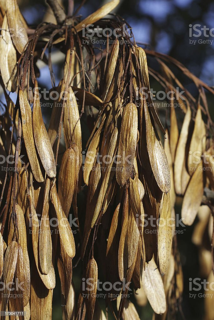Close up autumn seeds in profusion ash tree Fraxinus excelsior royalty-free stock photo