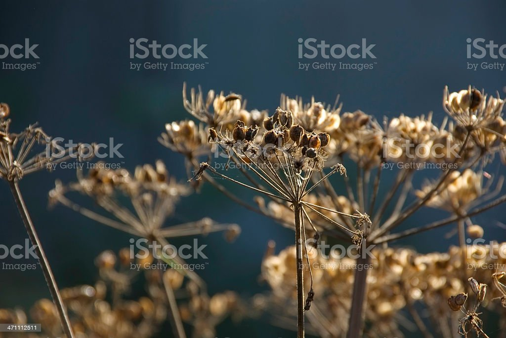 Autumn Series: Hogweed seeds on Dark Background stock photo