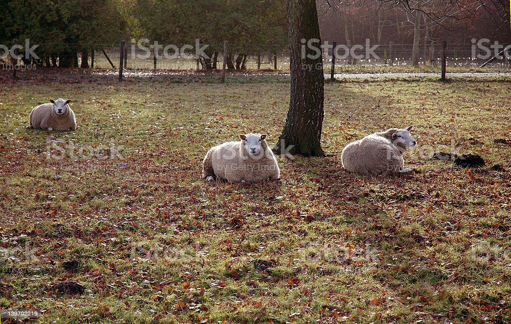 Autumn Sheep stock photo