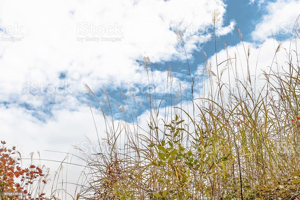 Autumn sky and Japanese pampas grass stock photo