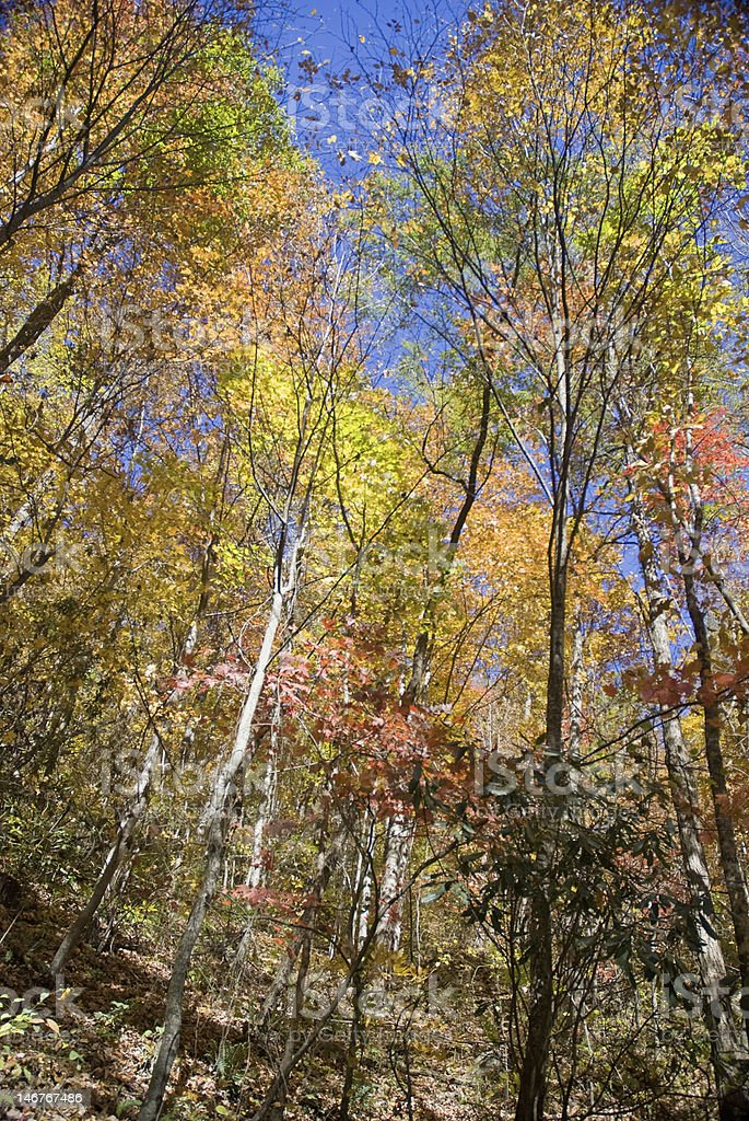 Autumn Splendor Upward View royalty-free stock photo