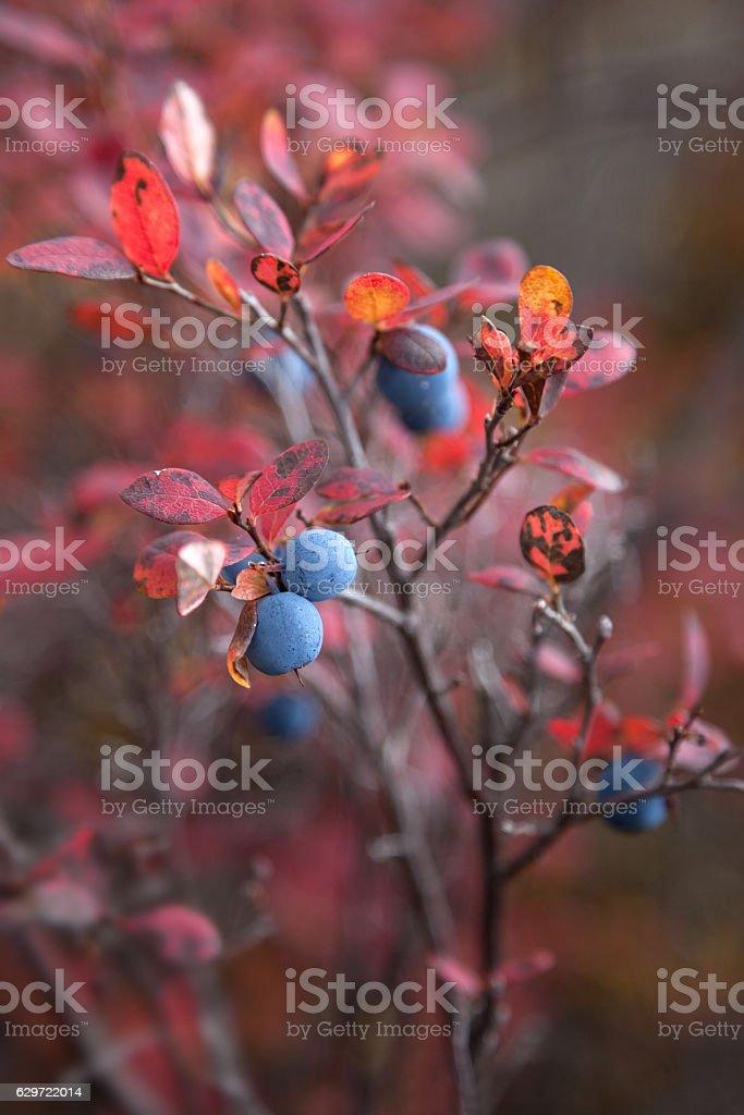 Autumn spring with wild blueberries stock photo