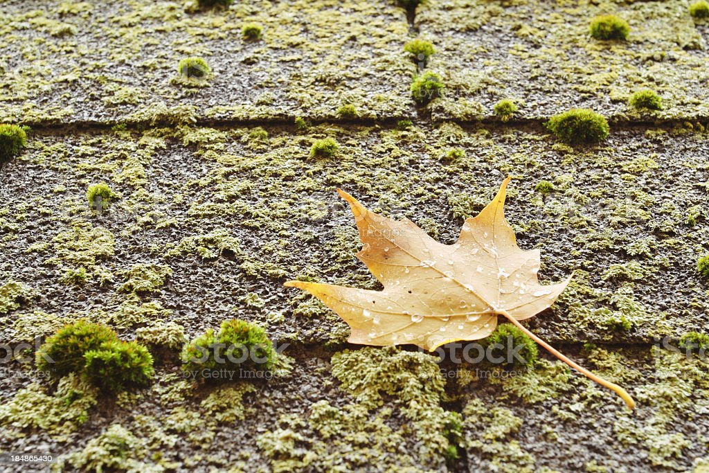 Autumn Sugar Maple Leaf on a Mossy Roof royalty-free stock photo