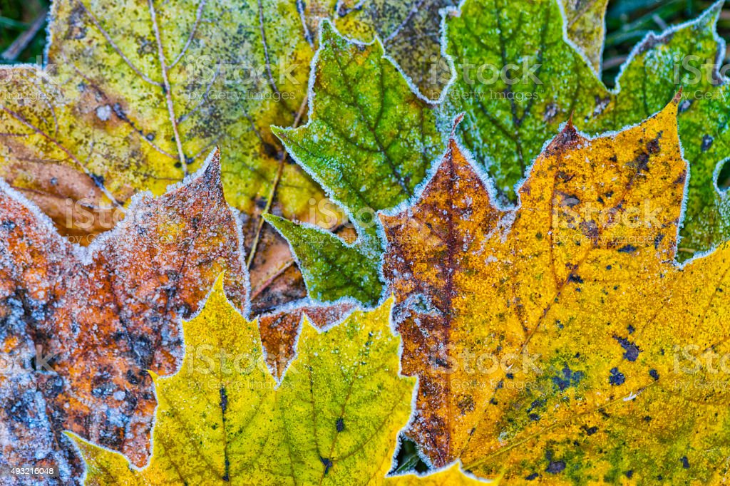 Autumn Sugar Maple leaves covered in frost stock photo
