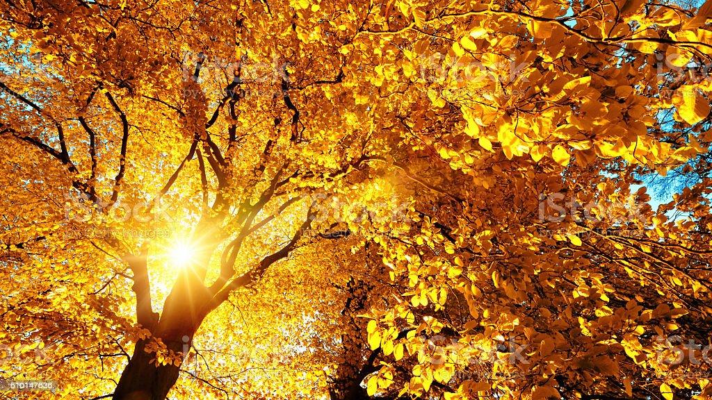 Autumn sun beautifully illuminating a beech tree stock photo