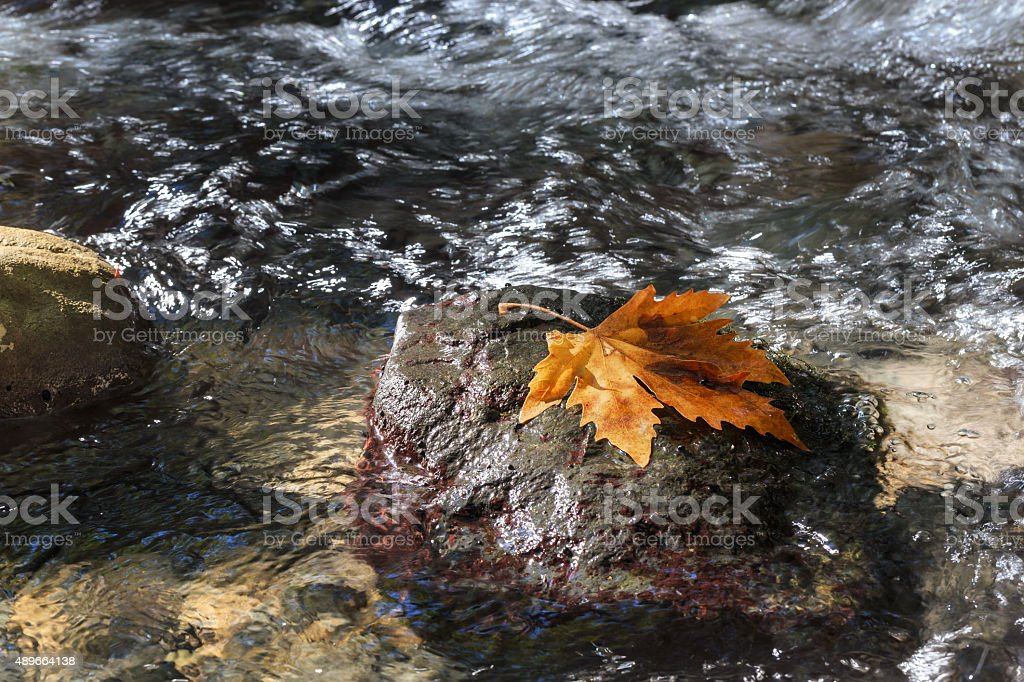 Autumn. Sycamore leaf on the stone in stream. stock photo