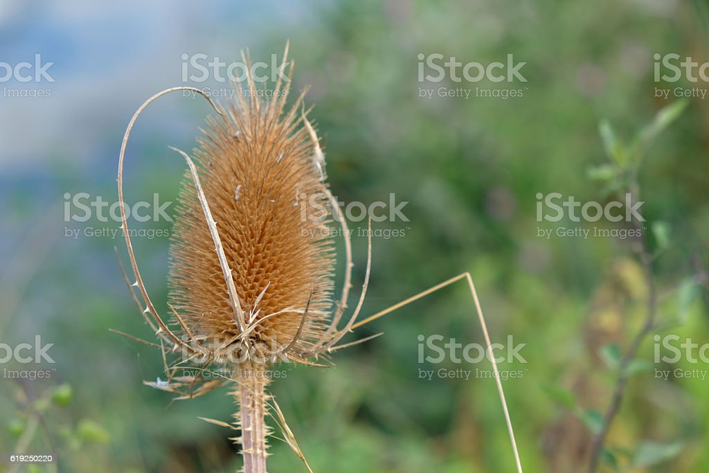 Autumn teasel , dried out and golden stock photo