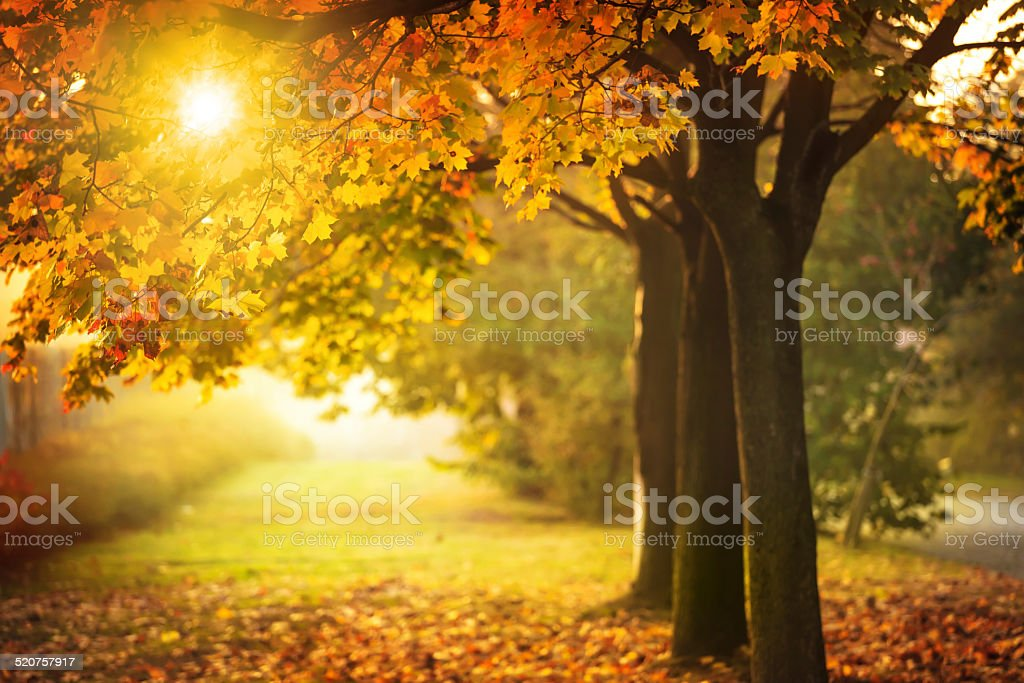 Autumn Tree and Sun during Sunset - Fall in Park stock photo