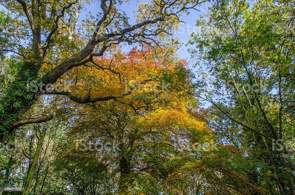 Autumn Tree Canopy royalty-free stock photo