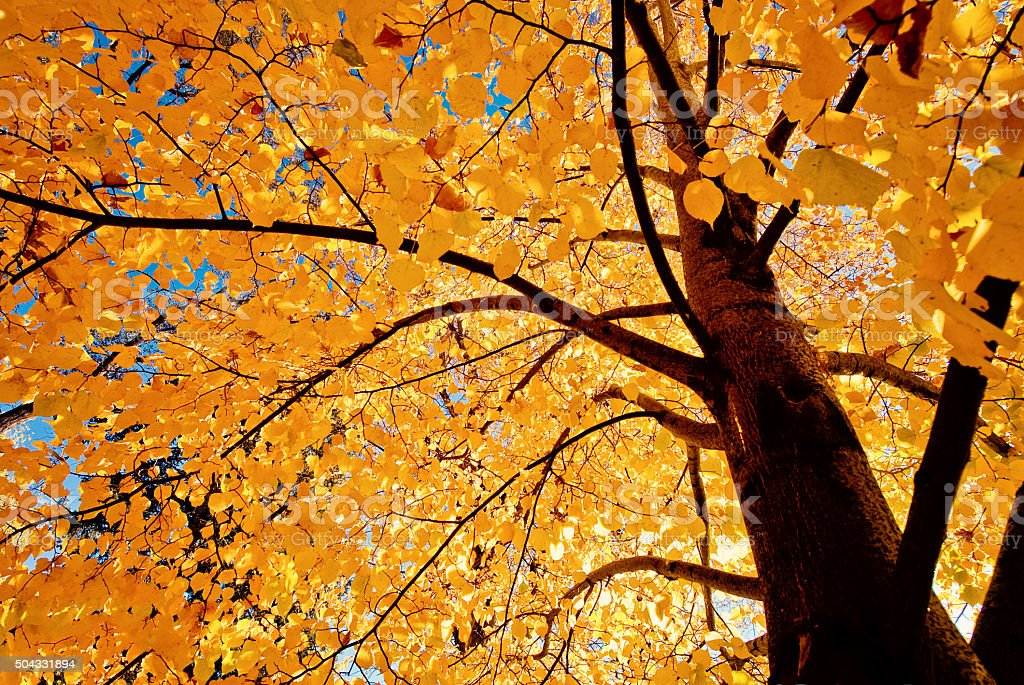 Autumn tree - Fall Forest looking up stock photo