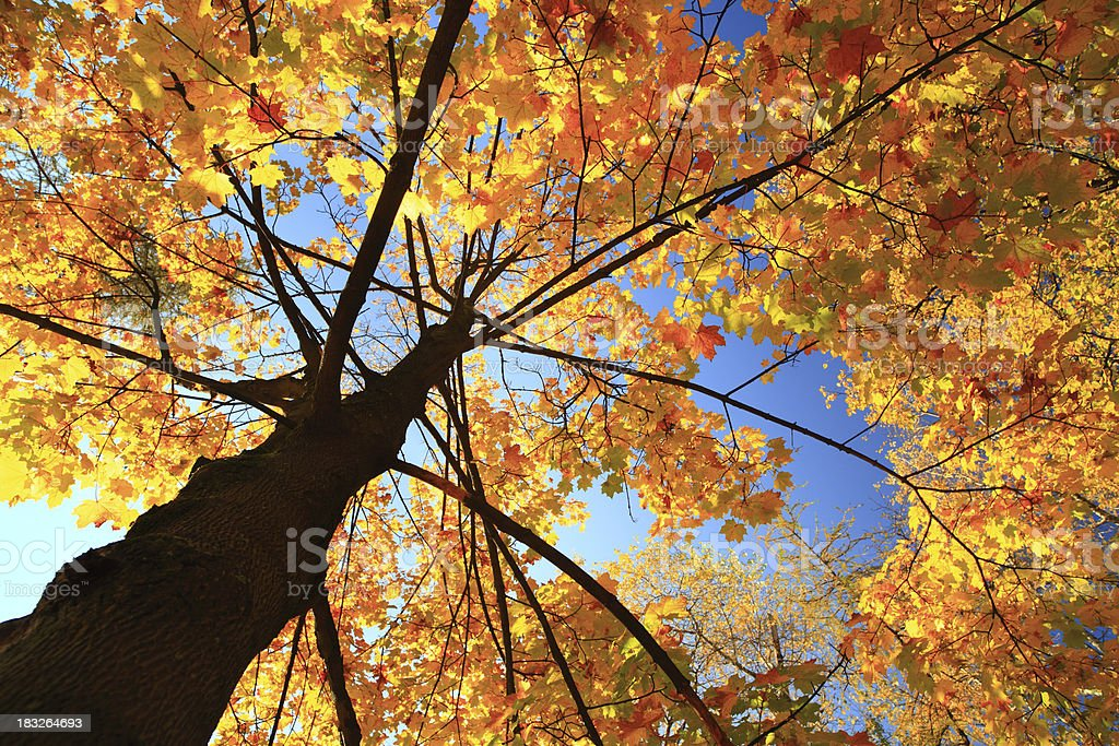 Autumn tree - fall leaves royalty-free stock photo