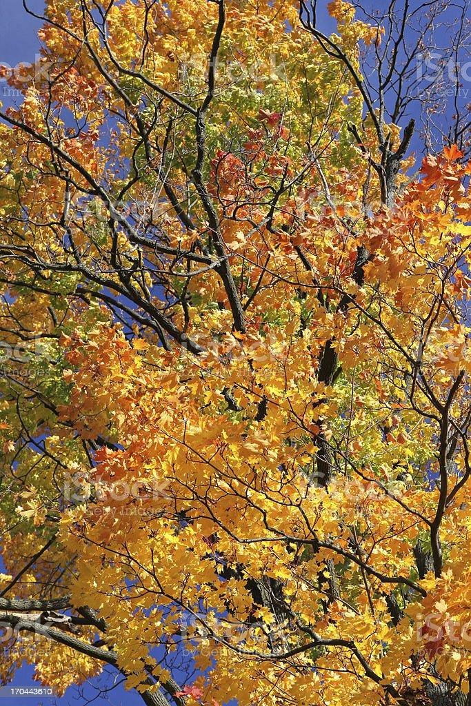 Autumn tree in region Liptov, Slovakia royalty-free stock photo