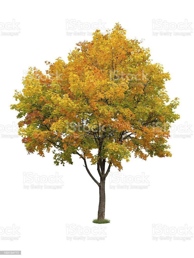 Autumn tree isolated stock photo