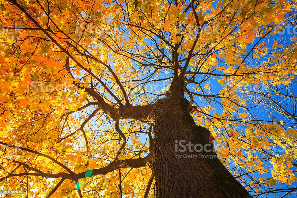 Autumn Tree Looking Up - Colorful Fall Leaves stock photo