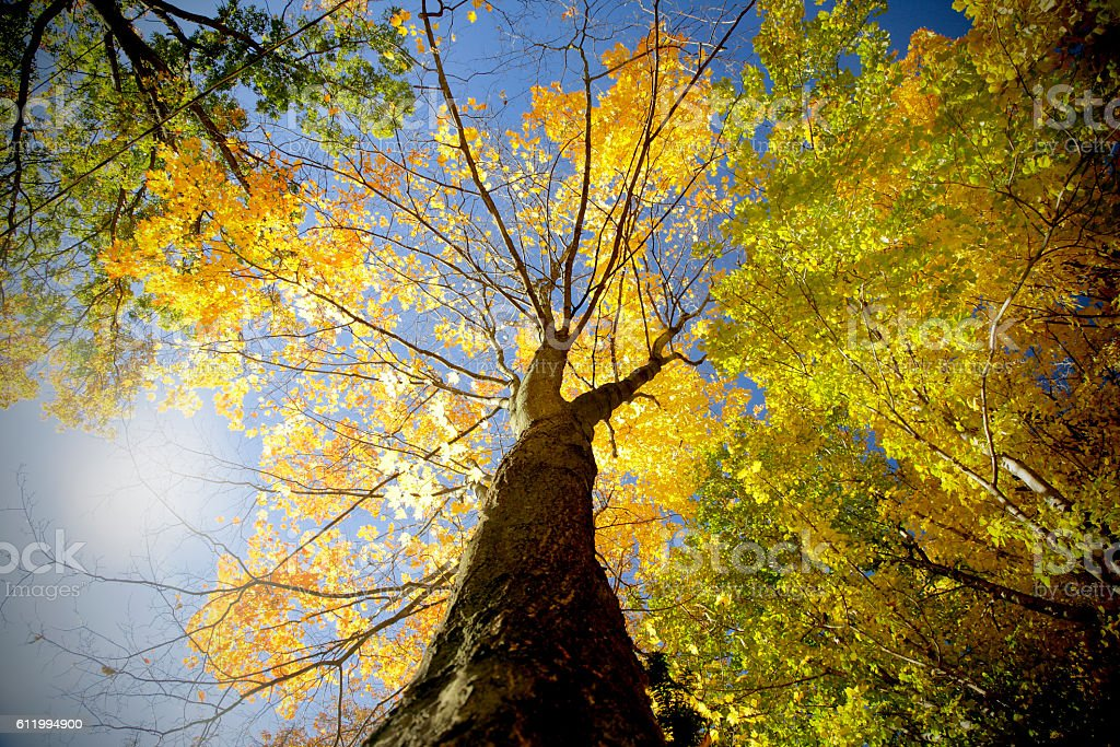Autumn tree looking up from below with sunflare stock photo