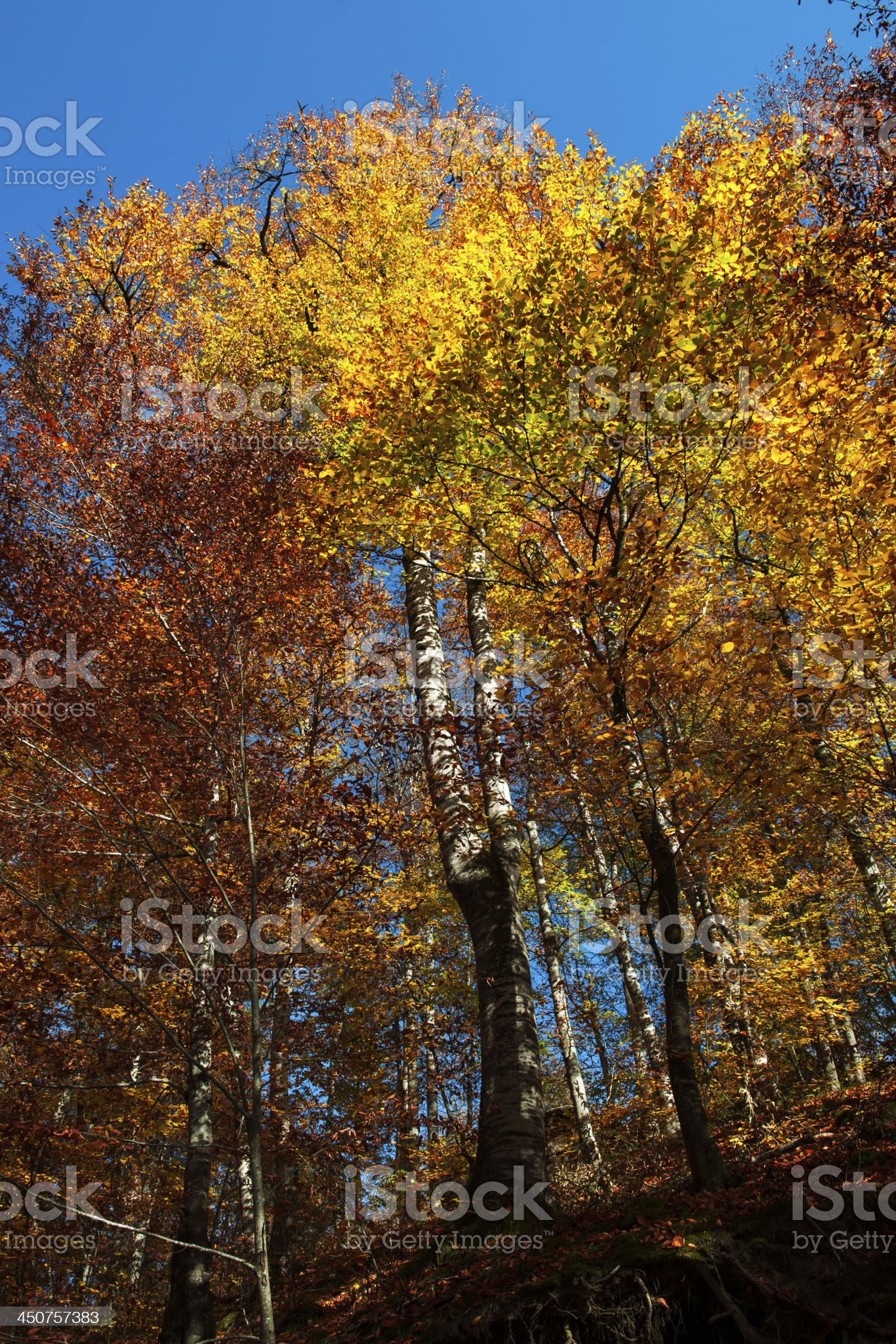 Autumn Tree Looking Up royalty-free stock photo