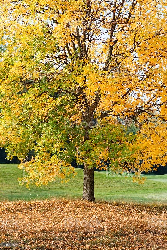 Autumn Tree Losing leaves stock photo