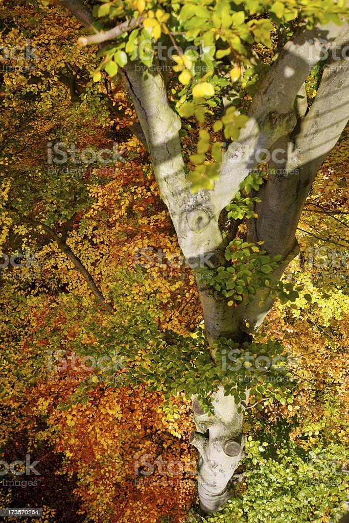 Autumn Tree royalty-free stock photo