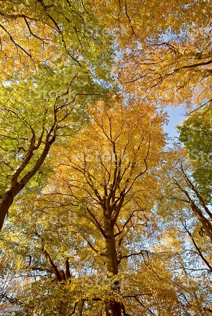 Autumn Tree Tops royalty-free stock photo